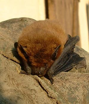 A bat with brown fur