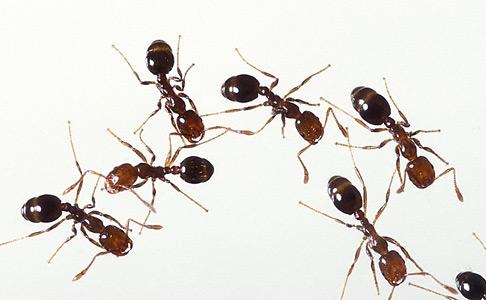 fire ants thumbnail
