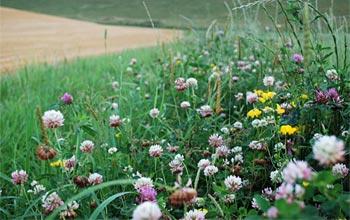 clover field margin wildlife
