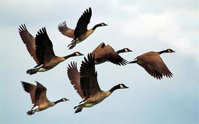 geese birds flock flying wildlife