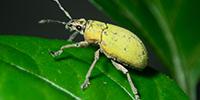 Bug Vacuums: Sucking Up Biodiversity project -- beetle image