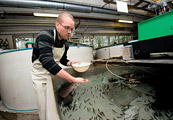 Aquaculture manager feeding fish at hatchery in France.