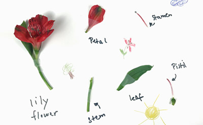 Poster with plant parts of a dissected flower for STEM activity