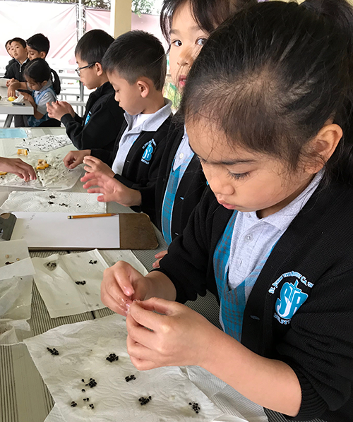 Students count fruit seeds at a table