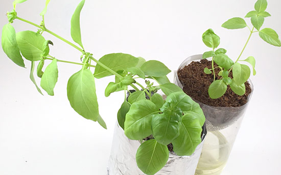 Two hydroponics containers in which plants are growing.