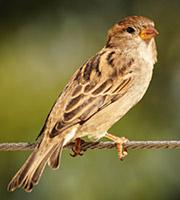 sparrow bird