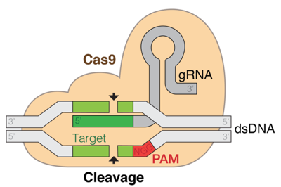 Schematic diagram of the CRISPR-Cas9 complex, showing the Cas9 protein, the single-guide RNA, and the cleaved target DNA.