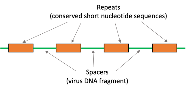 Schematic diagram of the CRISPR repeat-spacer array. Four orange boxes represent the repeats (conserved short nucleotide sequences) and the green lines between the orange boxes represent the spacers (virus DNA fragments).