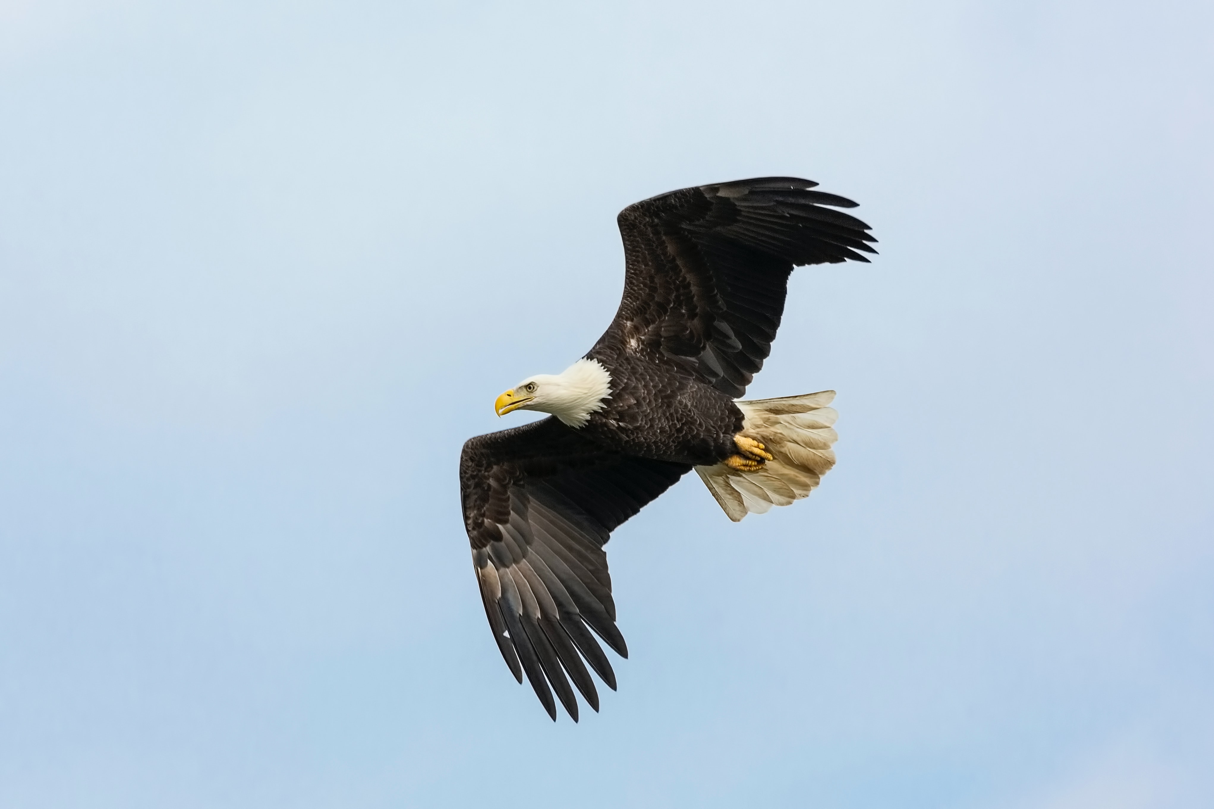 bald eagle being released
