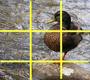 Photo of a duck overlaid with four yellow lines that form an evenly spaced grid