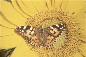 Does Temperature Affect The Rate Of Butterfly Development