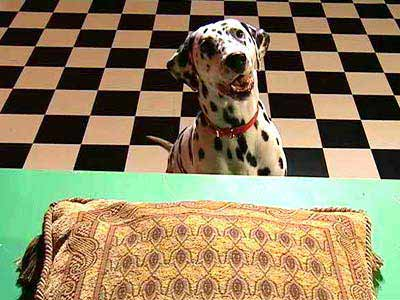Aerial view of a pillow on a table while a dog stares from the ground