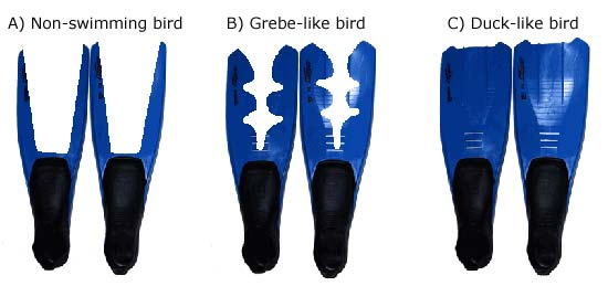 Three sets of diving fins are cut to match the feet of a non-swimming bird, a grebe-like bird, and a duck-like bird