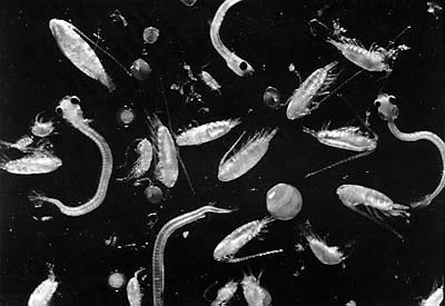 Microscopic image of phytoplankton has white shapes resembling worms or bug on a black background