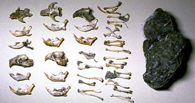 Bones of small animals neatly organized next to the owl pellet they were dissected from