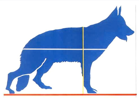 dog diagram with height and length measurements