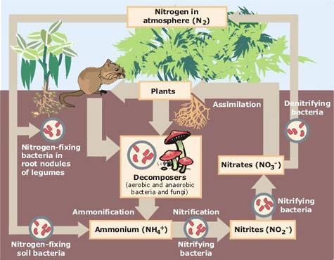 Diagram shows the nitrogen cycle within a garden