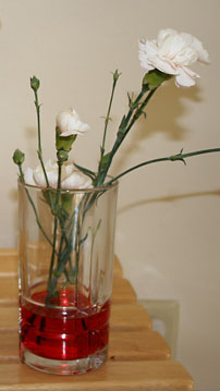 White carnations in a glass of red food coloring water; will capillary action dye these flowers pink?