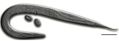 Zoology Science Project Caenorhabditis elegans nematode