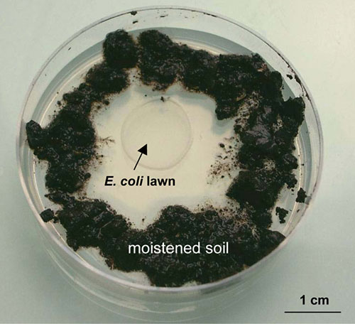 Zoology Science Project soil and E. coli petri dish ready for nematode isolation