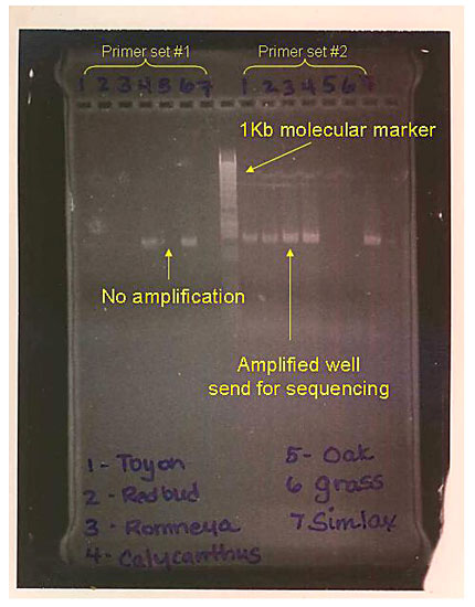 Genomics Science Project photo of agarose gel with examples of well and poorly amplified PCR products