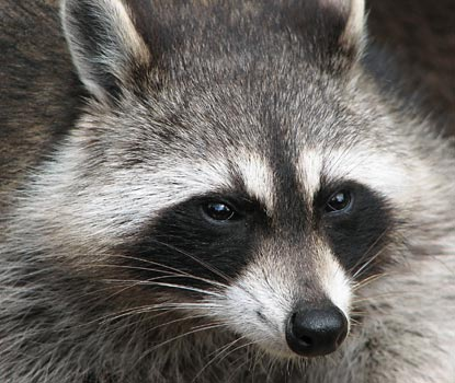 Mammalian Biology Science Project photo of a raccoon, species Procyon lotor