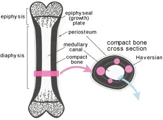 diagram illustrating bone development