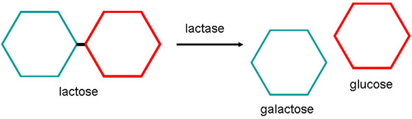 Diagram shows lactase breaking down lactose into galactose and glucose