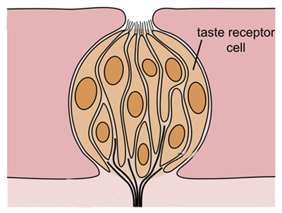 Food  Science Project Each taste bud contains many different taste receptor cells