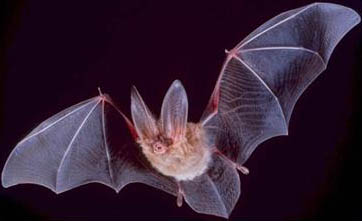 Big-eared-townsend-fledermaus bat.