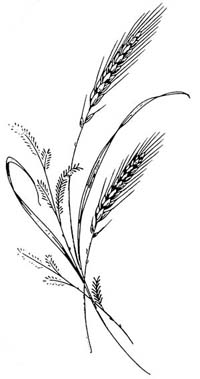 Drawing of a wheat plant.