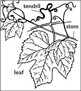 Diagram of a leaf on a stem with spiraling tendrils growing from the stem