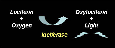 The luciferin-luciferase reaction.