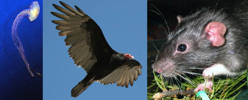 Three types of animals are shown in a composite photograph: a jellyfish, a turkey vulture, and a rat.