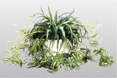 A spider plant