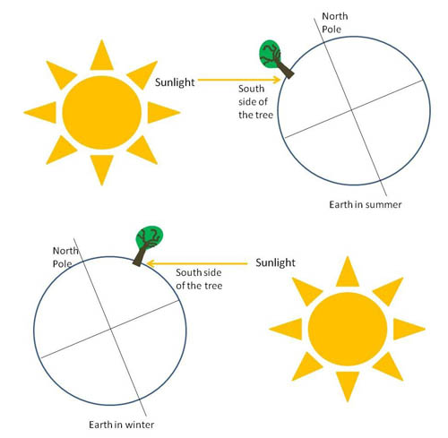 The top drawing shows the arrangement in summer, with the Sun on the left, and Earth on the right. A tree is in the northern hemisphere of Earth which is tilted on an axis, and sunlight is striking the southern side of the tree. The bottom drawing shows the arrangement in winter, with the Sun on the right, and Earth on the left. Again, sunlight is striking the southern side of the tree.