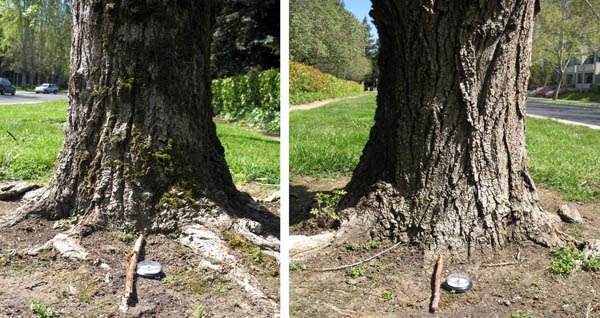 This photo shows side-by-side photos of two tree bases. The one on the left is partially covered by moss, while the one on the right is not covered by moss. A stick is in the bottom center of each photo pointing out from the tree base.