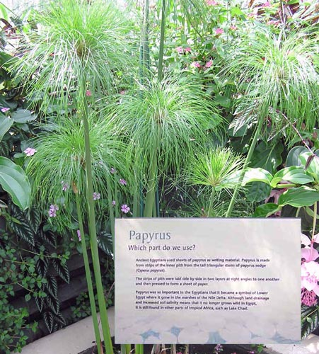 Materials Science Project tall, triangular reed, called Cyperus papyrus, which the ancient Egyptians used