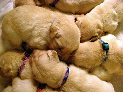 Photo of light brown puppies huddling together