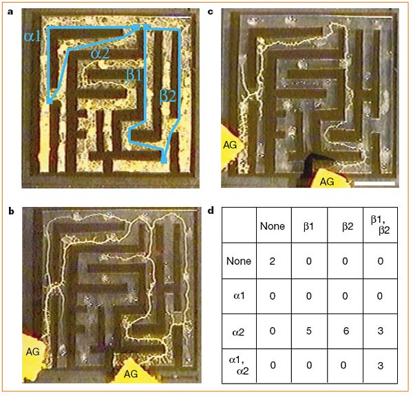 Zoology Science Fair Project Maze-solving by Physarum polycephalum.