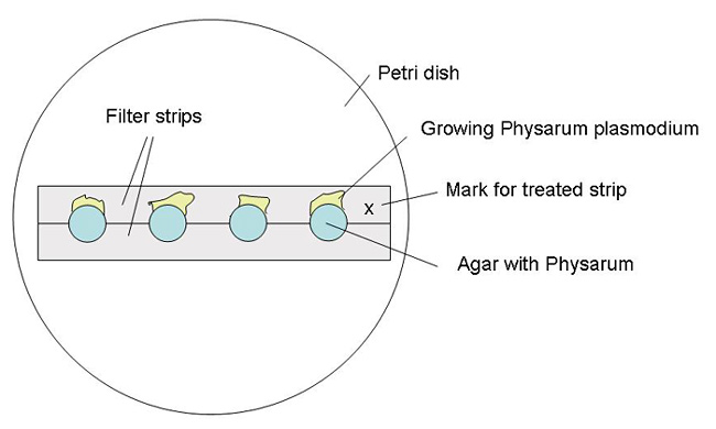 Two filter strips are placed in a petri dish with four cultures placed along the length of both strips