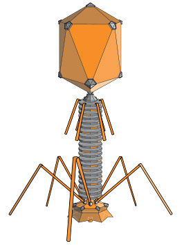 Drawing of a T4 phage shows five legs at the base of a cylinder with a large head at the top