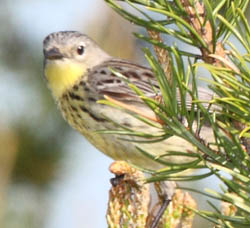 Female Kirtland's warbler sitting in pine tree