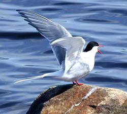 An arctic tern in Finland