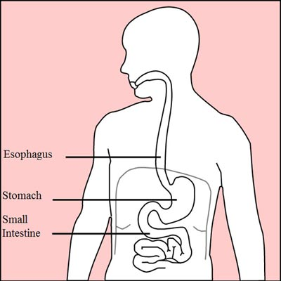Diagram of the digestive system with only the esophagus, stomach and small intestine shown