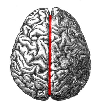 Top-down view of a drawing of a human brain with a red line dividing the left and right hemispheres