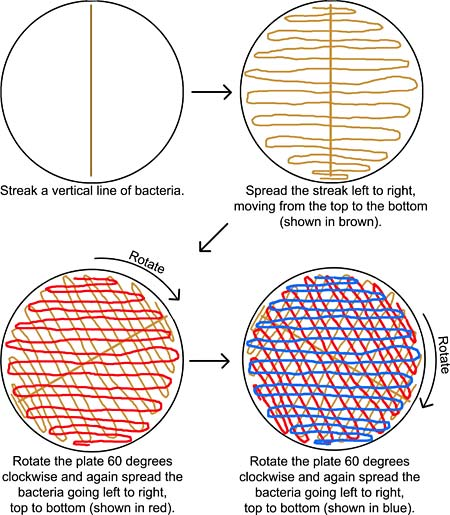 Microbiology science project  Diagram of how to evenly spread bacteria on an agar plate.