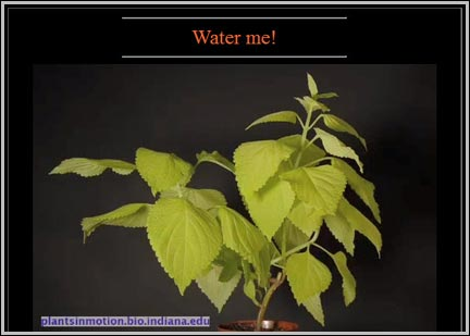 Plant Biology video of coleus wilting