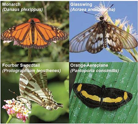 four butterfly species used in Harvard University study