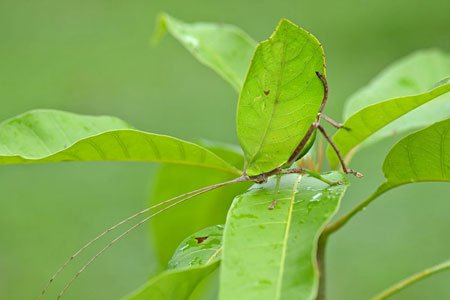 A katydid disguises itself as a leaf on a plant